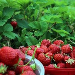 coltivazione-fragole